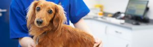 Dachshund with vet