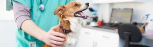 Jack Russell cross Chihuahua long hair with vet