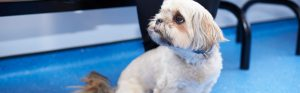 Lhasa Apso in waiting room, The Village Veterinary Group