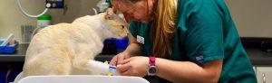 Vet treating a cat, Village Animal Hospital