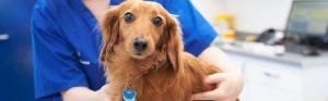 dachshund-with-vet