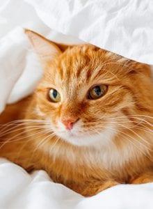 Cat under duvet